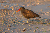 Blackish oystercatcher