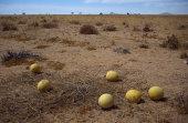 Nara melons