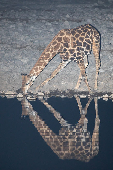 Southern Giraffe at Night