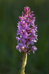 Heath fragrant orchid