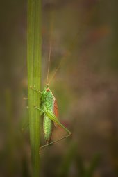 Short-winged conehead