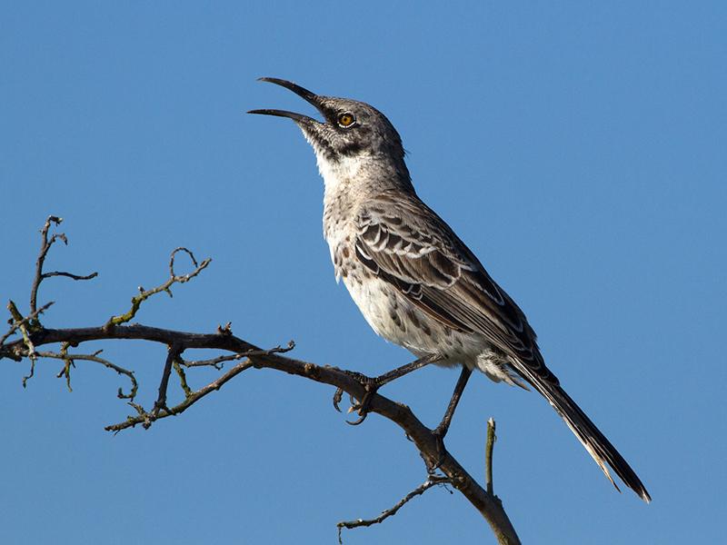 Hood mockingbird