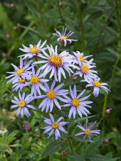 Cascade asters
