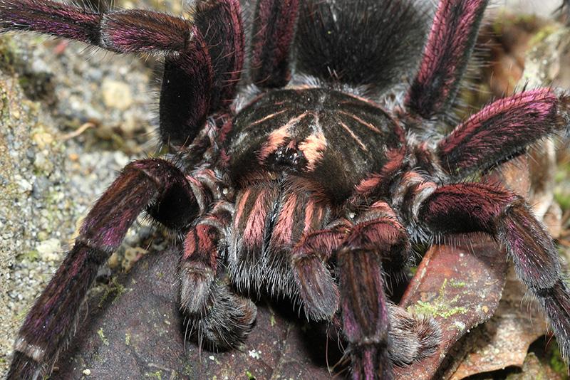 Purple legged tarantula