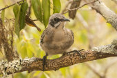 Chatham mockingbird