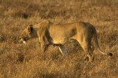 Ngorongoro
