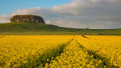 Rape field, Morgans Hill