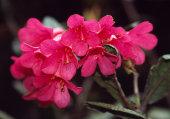 Rhododendron rugosum