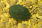 Immature Green shieldbug