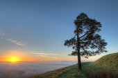 Pine tree, Martinsell Hill