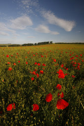 Poppies, Barbury