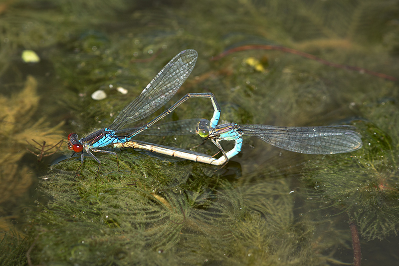 Small red-eyed damselflies