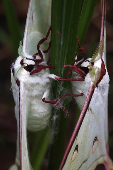 Indian moon moths