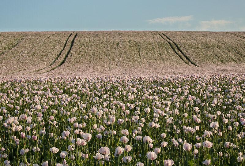 Opium Poppies, Rockley