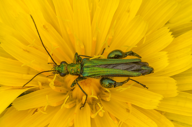 Thick-legged flower beetle