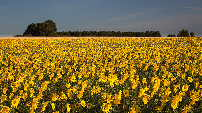 Sunflowers at sunrise, Salisbury Plain