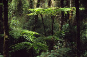 Smooth tree ferns