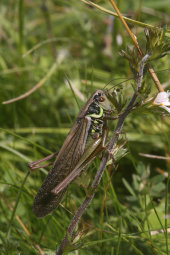 Roesell's bush-cricket