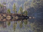 Scots Pine