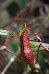 Fringed pitcher plant