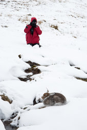 Photographing Mountain hare