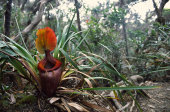 Kinabalu pitcher plant