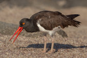 American oystercatcher with catch