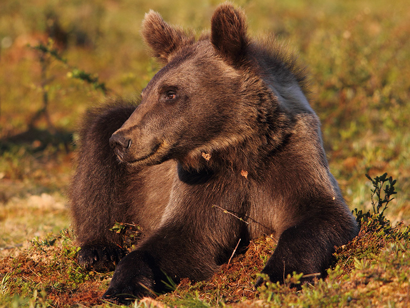 Adolescent Brown bear