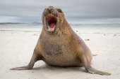 Southern elephant seal roaring