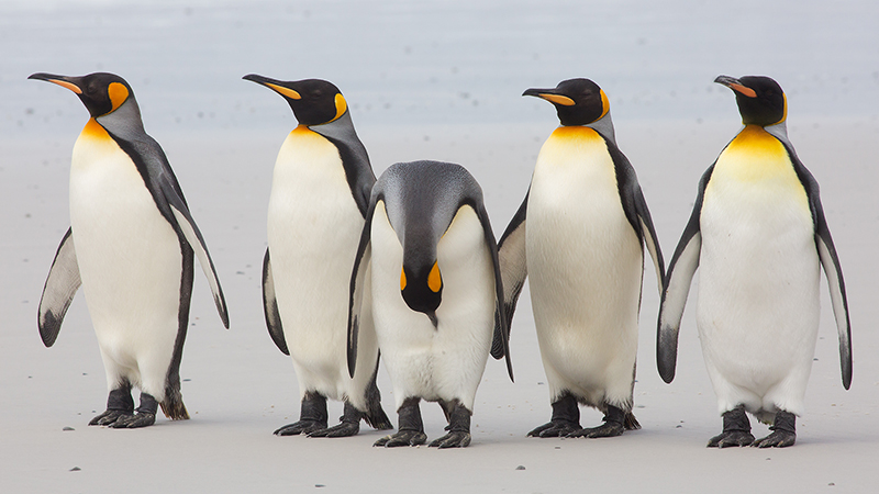 Five King penguins