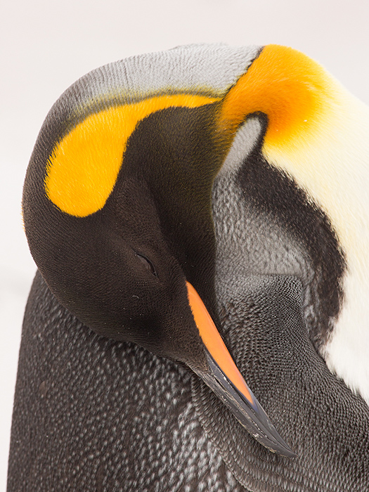 King penguin sleeping