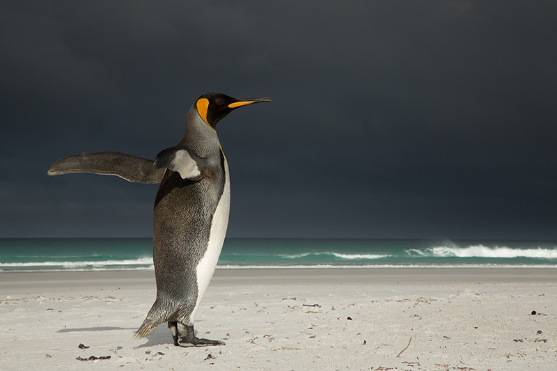 King penguin in storm light