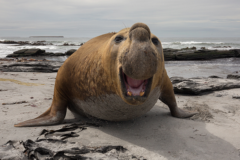 Aggressive Southern elephant seal