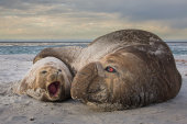 Elephant seal embrace