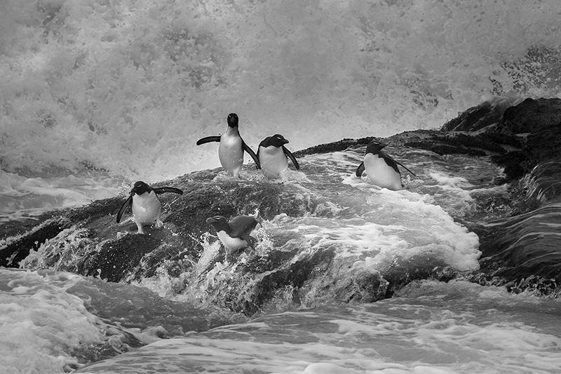 Rockhopper penguins in surf