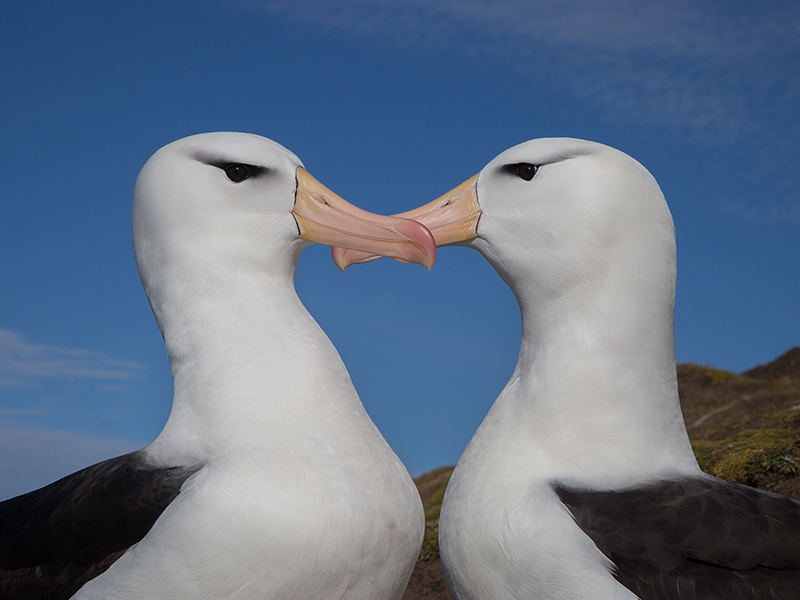 Black-browed albatross courtship