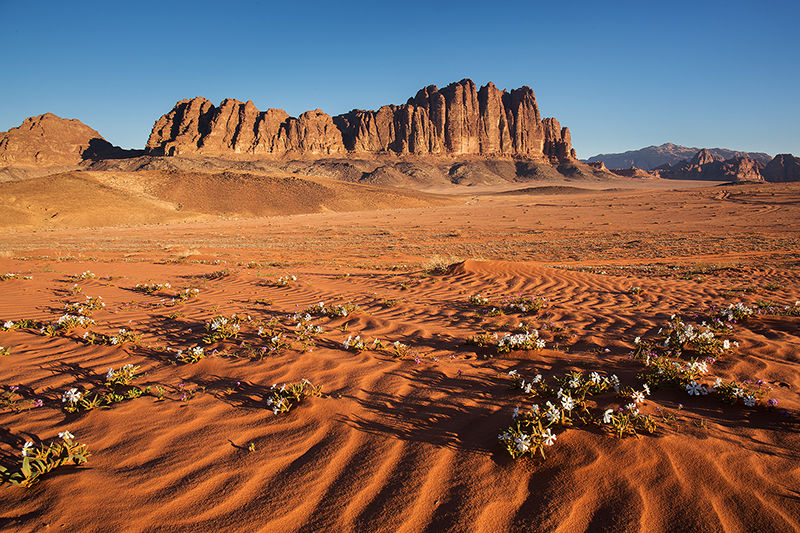 Desert in bloom, Wadi Rum