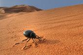 Tenebrionid beetle in sand dunes