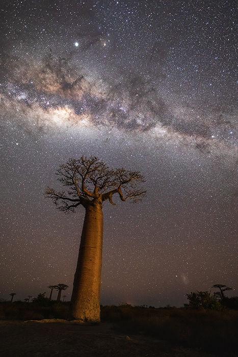Milky Way over Grandidier's baobab