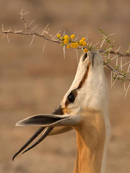 Springbok browsing Acacia