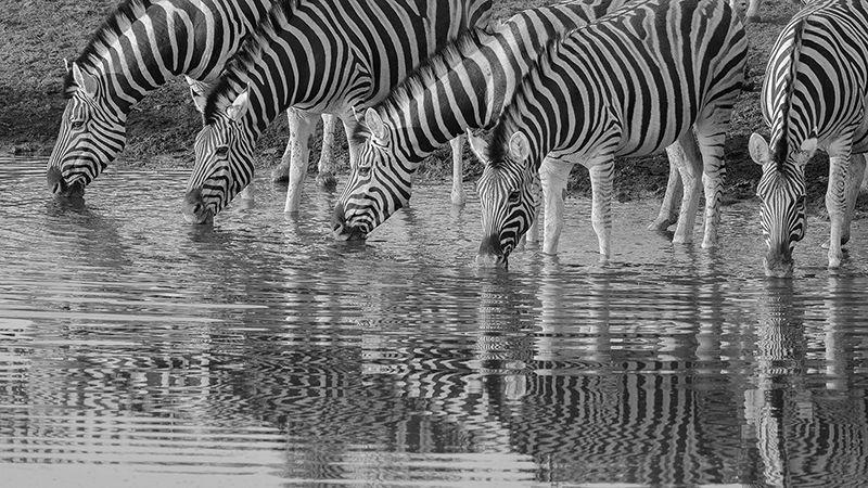 Burchell's zebra drinking