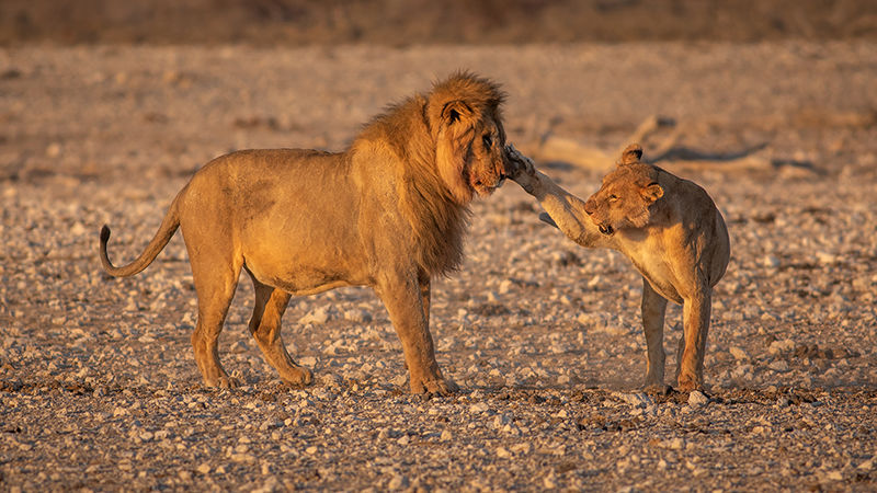 Lions interacting
