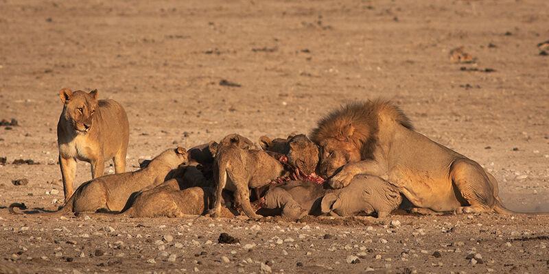 Lions eating black rhinoceros