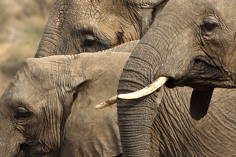 African elephant Trio