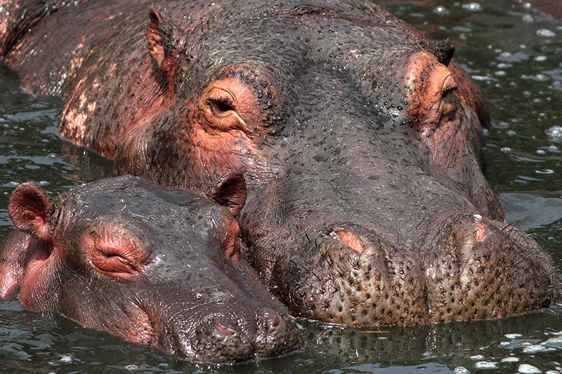 Hippopotamus Happiness
