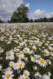 Ox-eye daisies