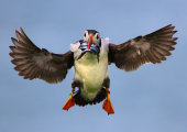 Puffin landing with catch