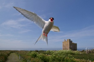 Northumberland Seabirds and Castles<br> 27 June to 1 July 2021