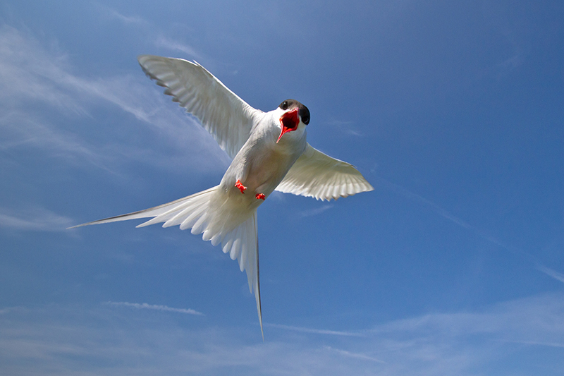 Arctic tern Dive-Bombing