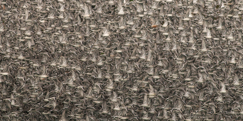 Knot leaving high tide roost
